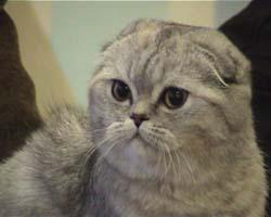 Данная порода кошек начала формироваться в системе Pedigree Cat Association (PCA)...