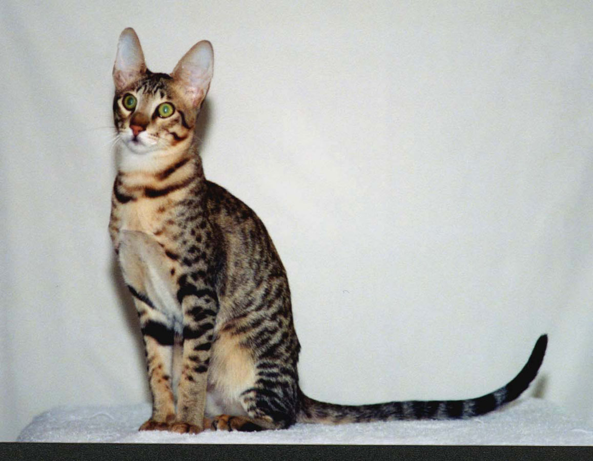 знакомство кота с кошкой