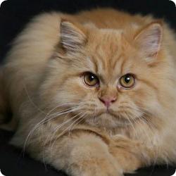 Ухаживать за длинношерстным котом