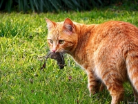 кошка-охотник с добычей