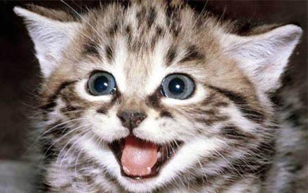 Кошка египетская мау имеет окрасы