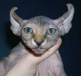 Фото котов породы эльф